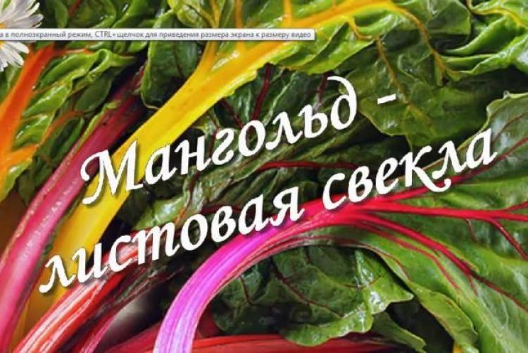 Как вырастить на своём участке листовую свёклу мангольд. сорта культуры, особенности посадки и ухода