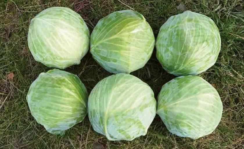 Капуста вьюга: описание сорта, фото, отзывы огородников