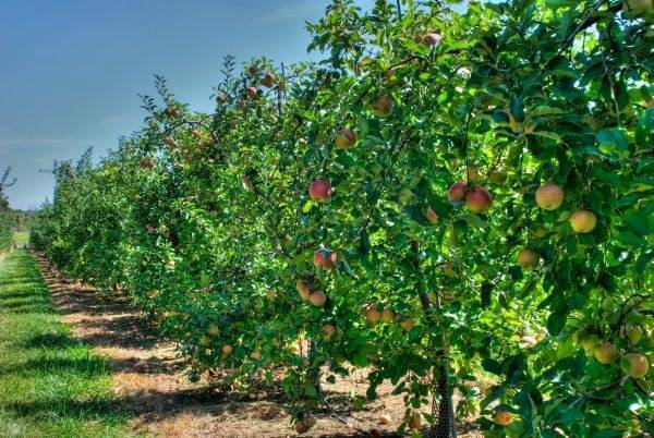 Совместимость плодово-ягодных деревьев и кустарников