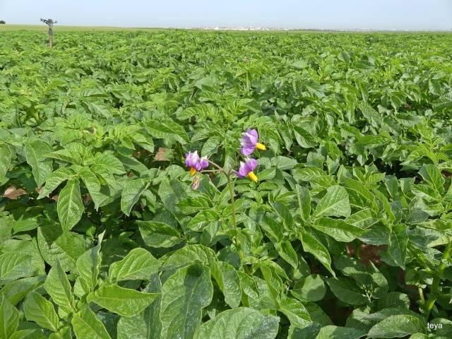Фиолетовое чудо – сорт картофеля «чугунка»: фото, особенности и описание корнеплода