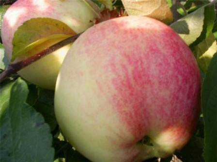 Сорт яблони бельфлер китайка – описание, фото