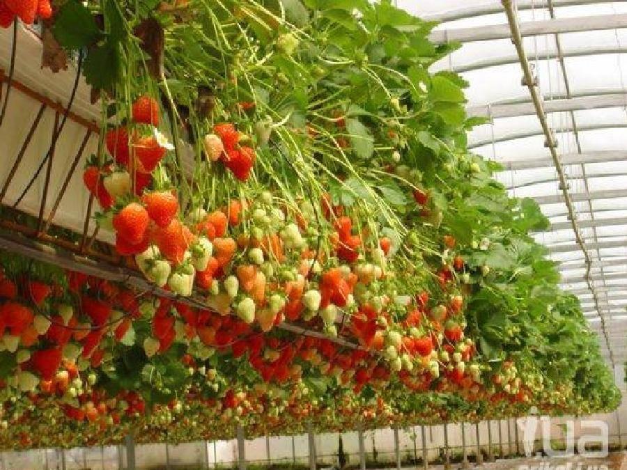 Ампельная земляника. земляника ампельная — сорта, выращивание из семян, особенности посадки, ухода, размножения