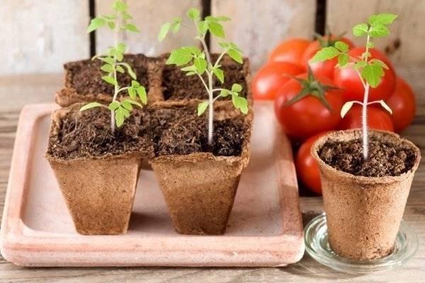 Сроки и правила посадки дыни на рассаду в домашних условиях, уход
