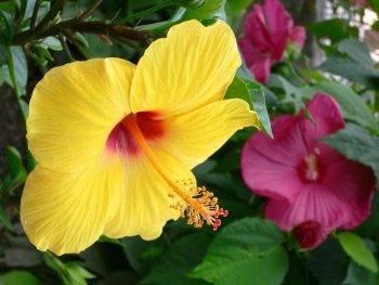 Гибискус садовый: выращивание и размножение