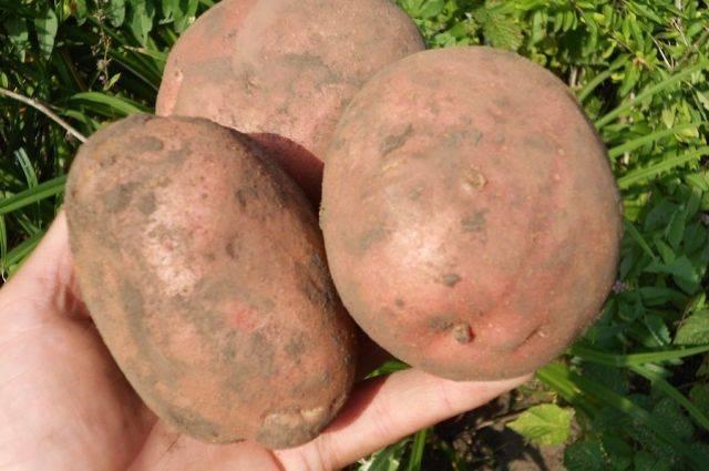Описание лучших сортов картофеля для посадки: описание, советы