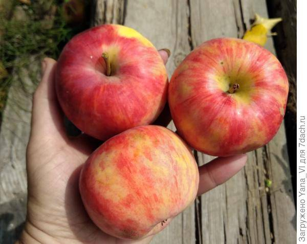 Яблоня анис пурпуровый: особенности сорта и ухода