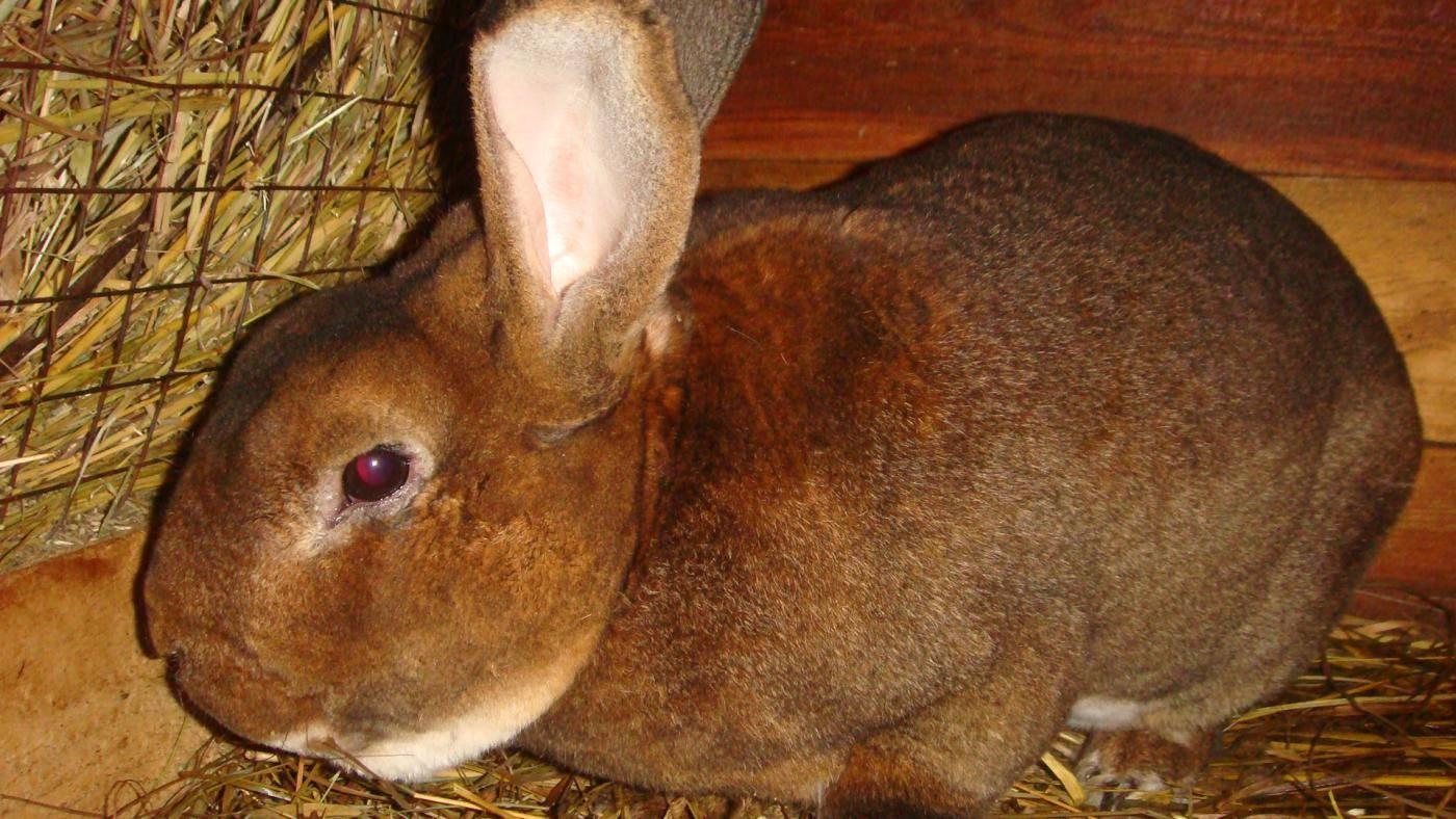 Лечение глистов у кроликов