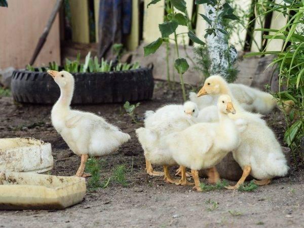 Кормление гусей: особенности рациона в разное время года