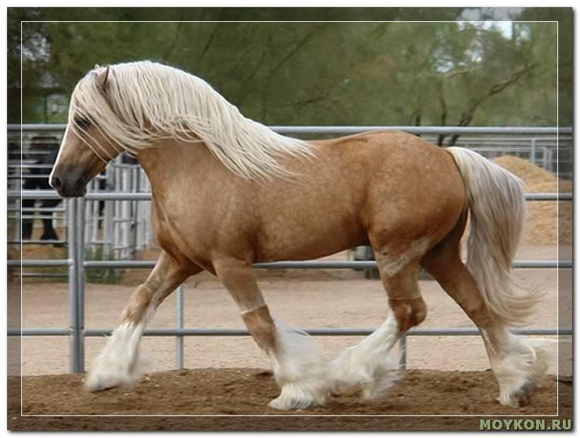 Английская чистокровная лошадь (16 фото): характеристика верховой и скаковой пород. особенности тренинга, питания и ухода