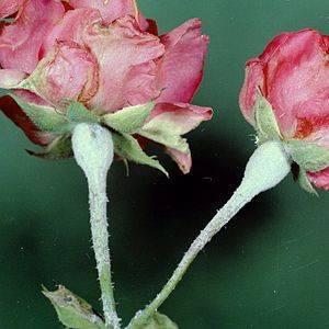 Болезни роз – описание и лечение с фото