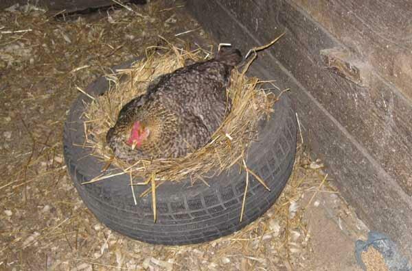 Выводить цыплят - дело непростое