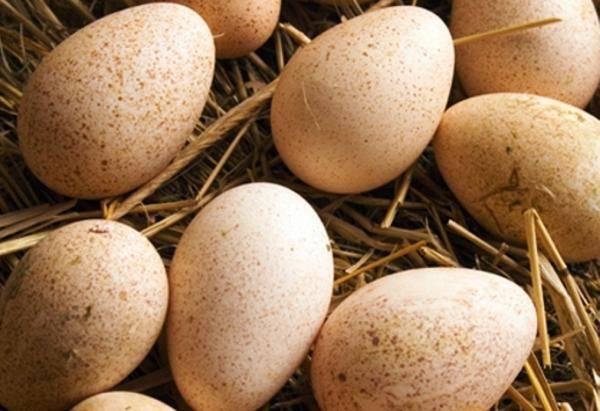 Все о высиживании яиц индоуткой: сколько дней сидит, когда выводит утят