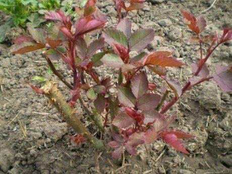 Когда размножать розы черенкованием в грунт: летом или осенью