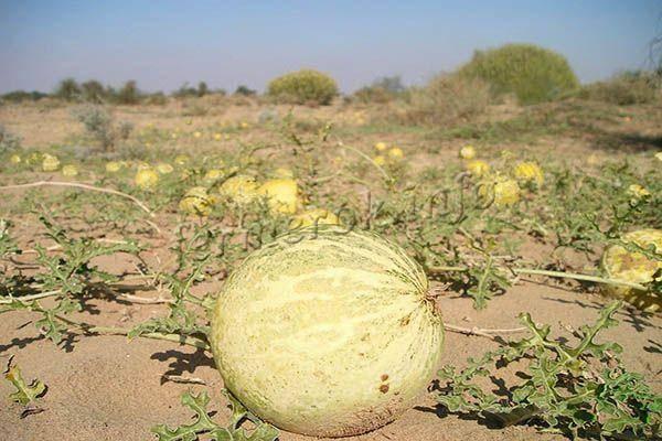 Растут ли в подмосковье арбузы: особенности выращивания южной ягоды в непривычных ей условиях