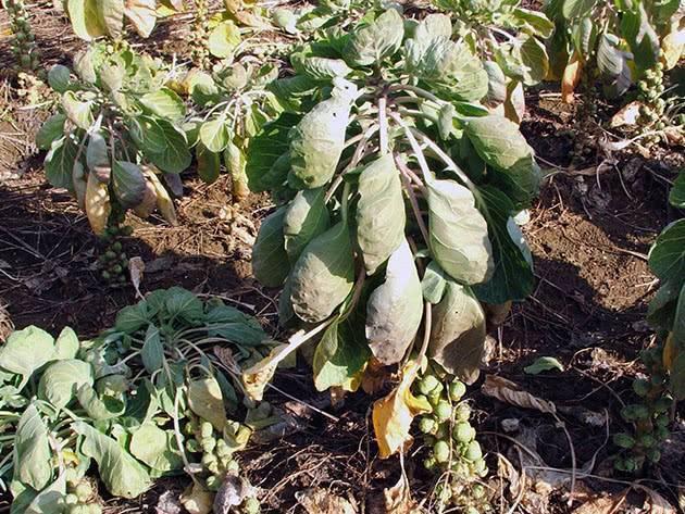 Как вырастить брюссельскую капусту из семян