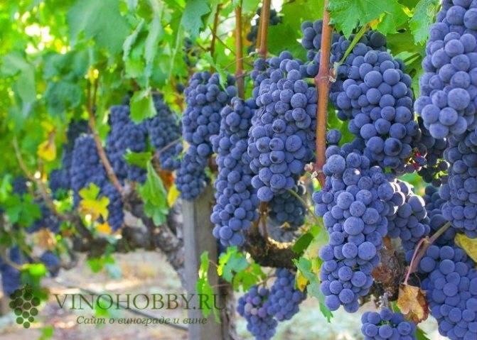 Псадка винограда весной саженцами в средней полосе в открытом грунте