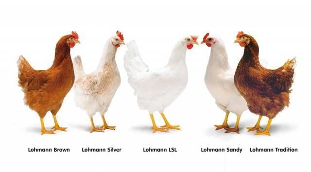 Куры ломан браун – описание породы, фото и видео