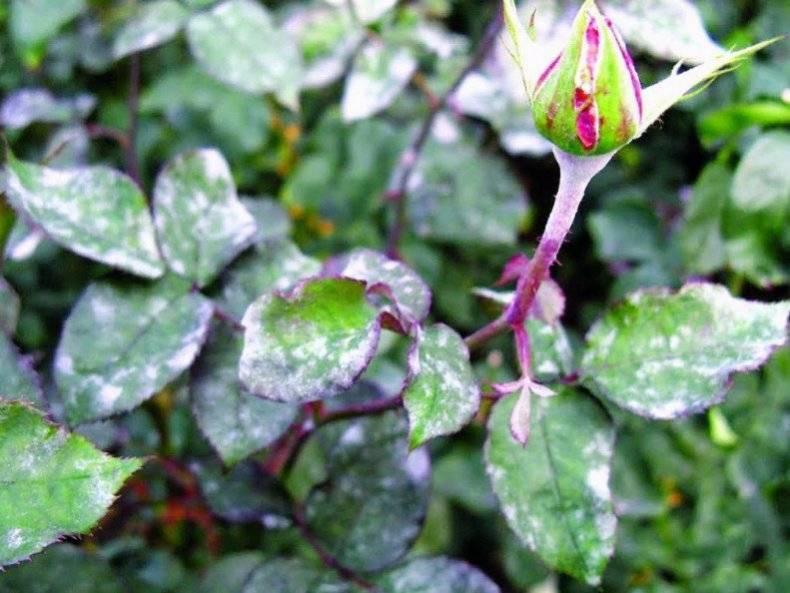Мучнистая роса на розах - меры борьбы, препараты и средства