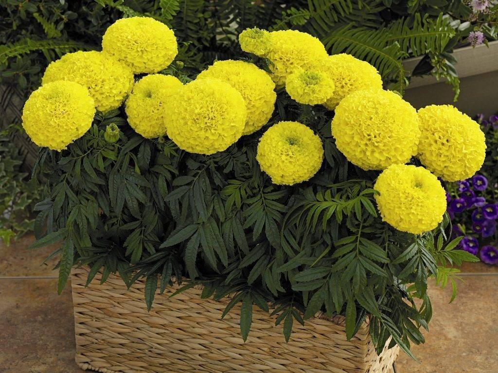 Красивые цветы для клумбы — цветущие все лето, низкорослые, однолетники и многолетники — фото с названиями. как посадить цветы на клумбе, чтобы цвели все лето — схема