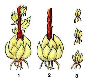 Размножение лилий чешуйками: как размножить их весной и осенью в домашних условиях? как правильно отделить чешуйки?