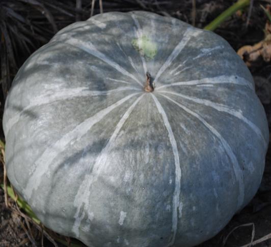 Выращивание тыквы мраморная