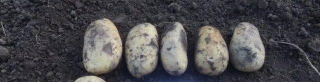 Сорт картофеля кураж — особенности и описание