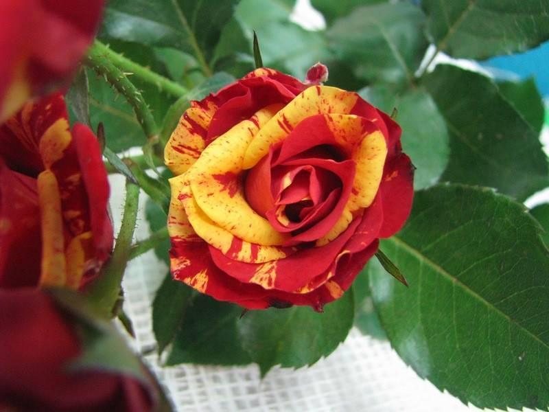 Роза аспирин: фото и описание сорта, особенности выращивания