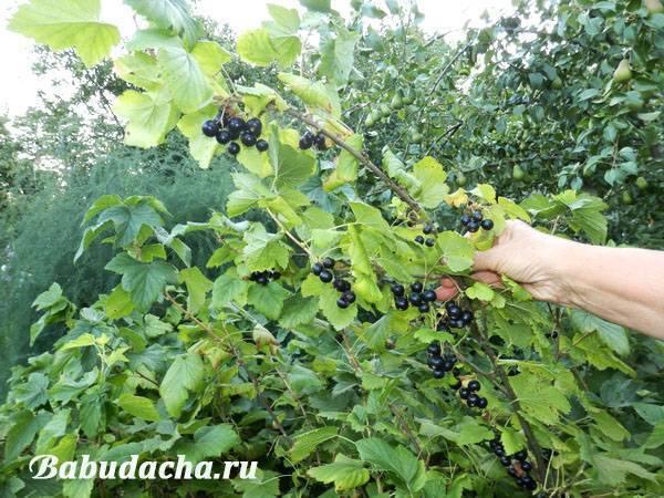 Обрезка плодовых кустов весной, зимой: малины, смородины и крыжовника