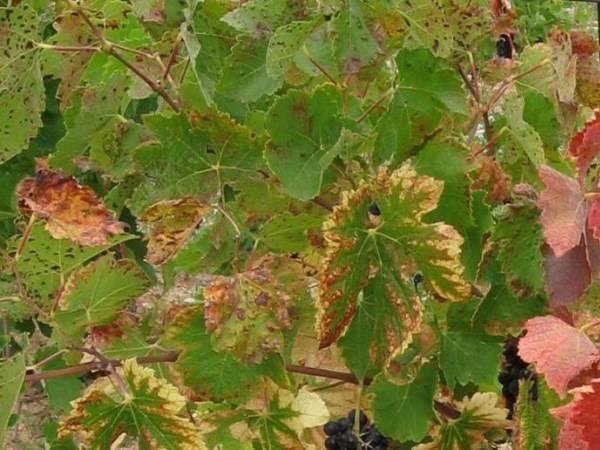 У сливы скручиваются листья — что делать