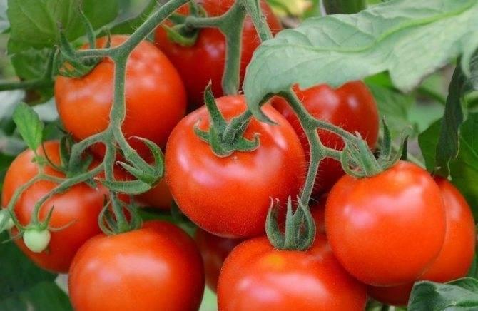 Сорт томата канопус