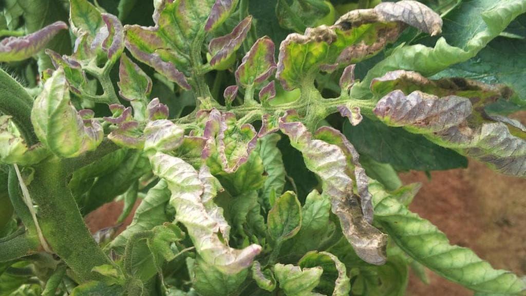 Фитофтора на помидорах в теплице, как бороться - самые лучшие методы и средства