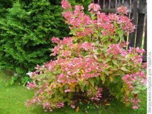 О сорте гортензии Эрли Сенсейшен: описание сорта, как посадить и ухаживать
