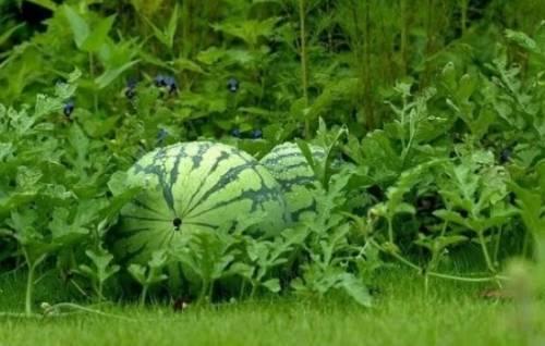 Можно ли выращивать арбузы в теплице вместе с помидорами