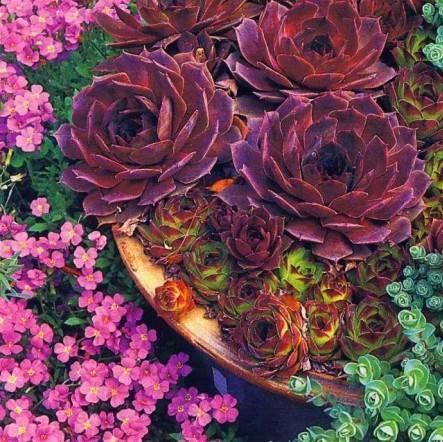 Цветок каменная роза: посадка и уход в открытом грунте