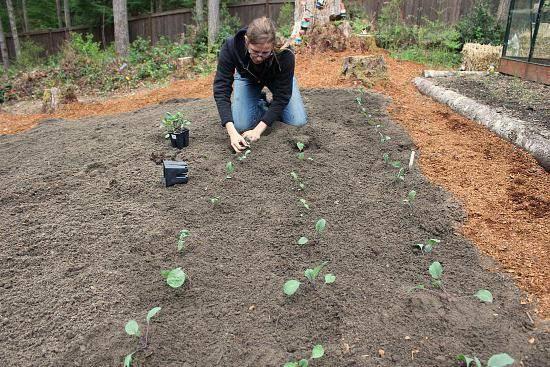 Как вырастить цветную капусту? как правильно вырастить цветную капусту: советы