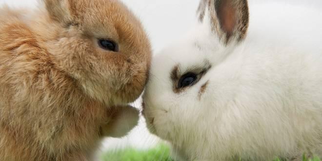 Беременность у кроликов