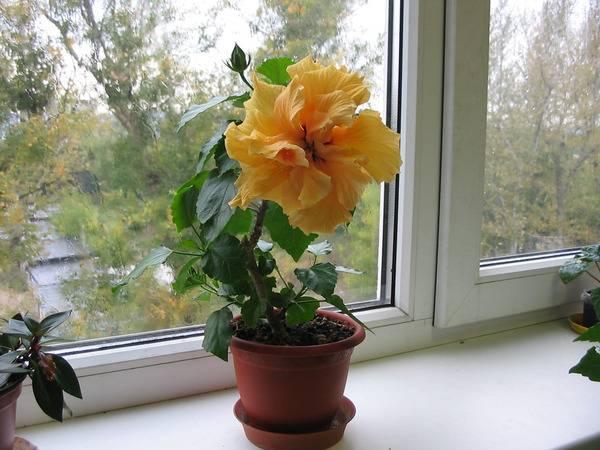 Почему дома не цветет гибискус?