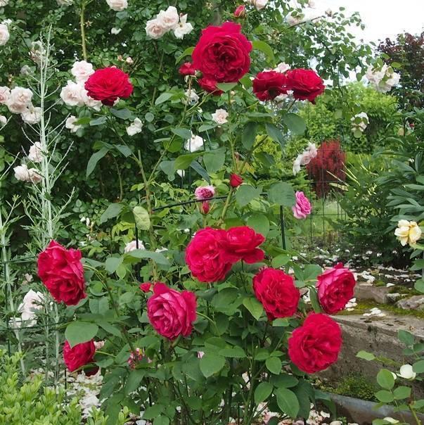 Плетистые розы кордес: лучшие сорта