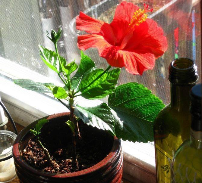 Комнатный гибискус. магические свойства цветка