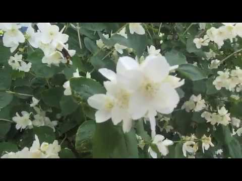 Применение жасмина сушеного. цветок жасмин описание и полезные свойства