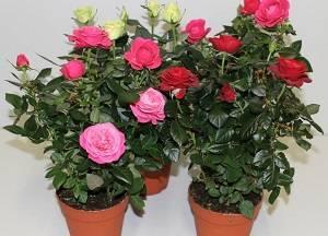 Адаптация комнатных роз