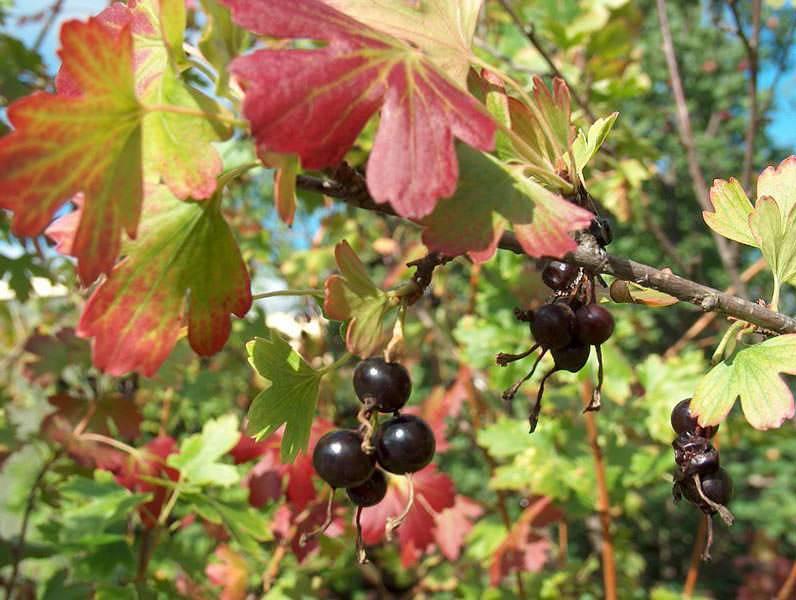 Подкормка смородины осенью: сроки, удобрения