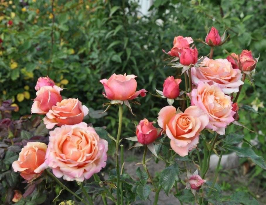 Описание чайно гибридной розы сорта бренди черри, посадка, уход и размножение