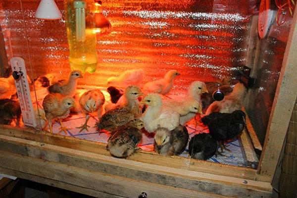 О температурном режиме для цыплят в первые дни жизни (уход в домашних условиях)
