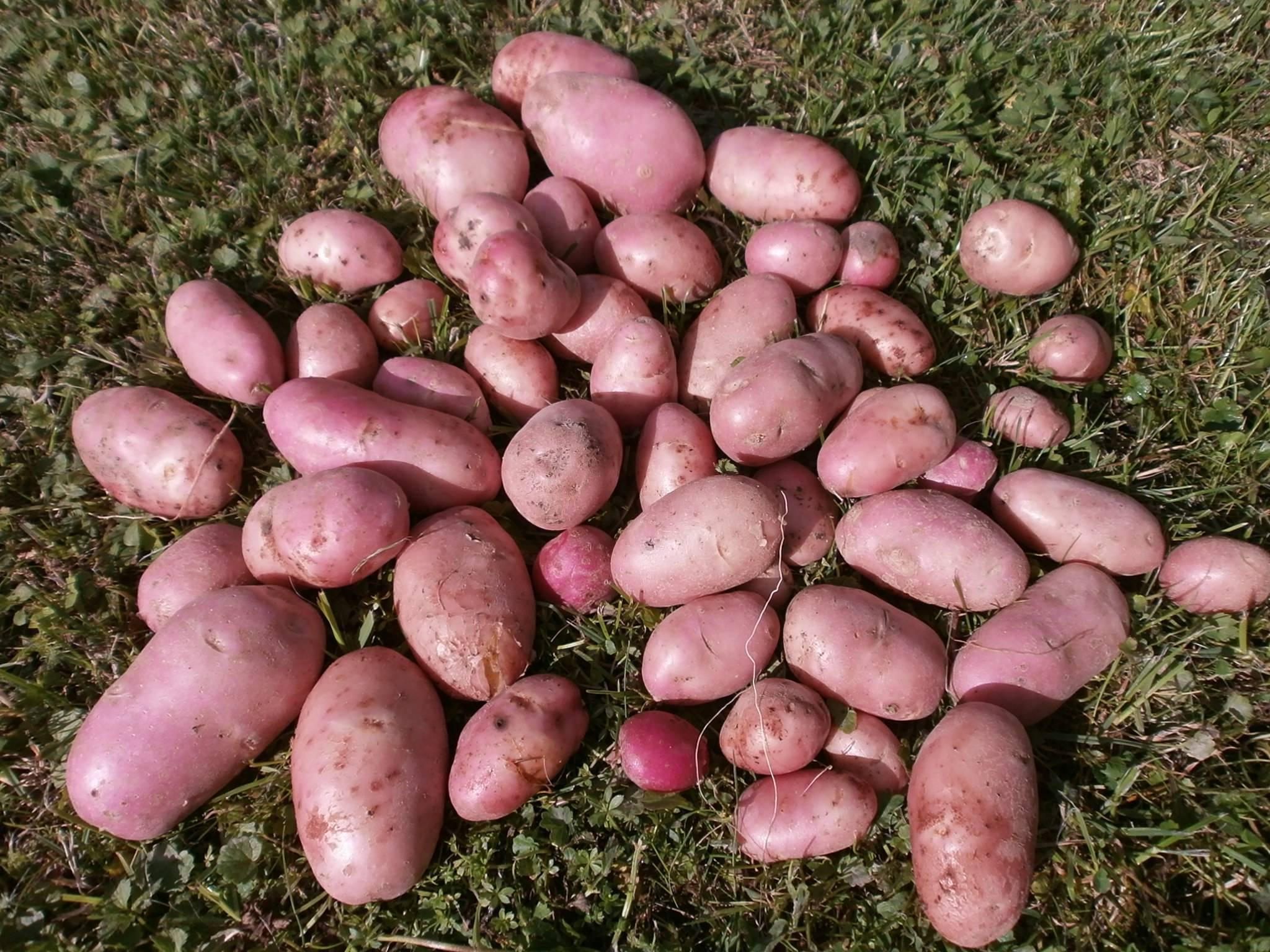 каталог сортов картофеля с фото и описанием подборку татуировок