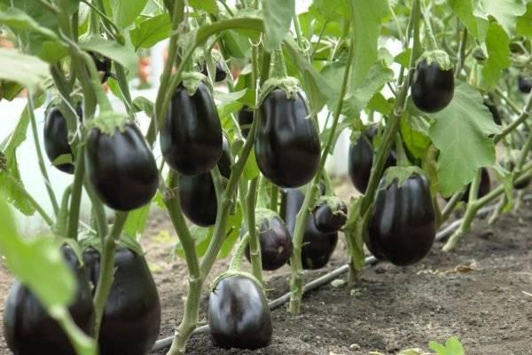 Баклажаны — выращивание и уход в теплице: 4 сорта и 5 правил агротехники