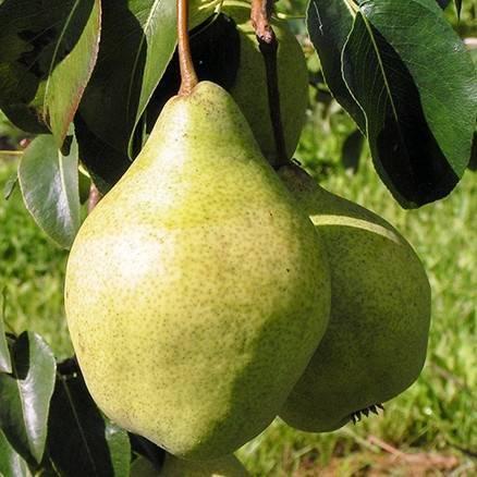 Особенности выращивания груши сорта просто мария