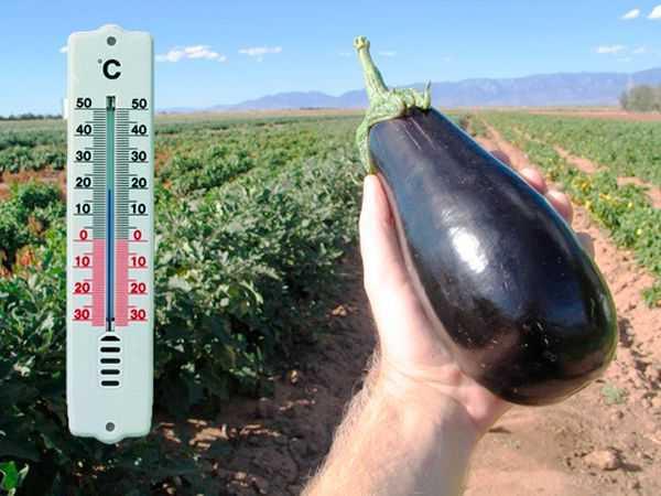 Баклажаны в открытом грунте. как выращивать и ухаживать?
