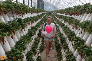 Маленькие секреты высоких урожаев клубники
