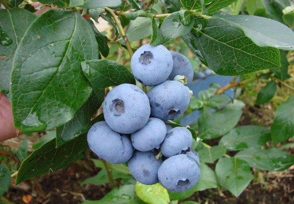 Голубика: посадка и уход в подмосковье, особенности выращивания